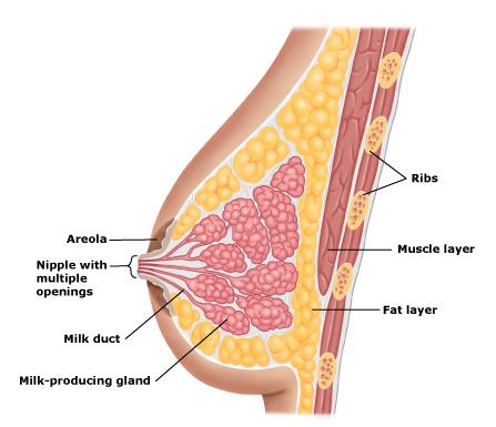 Почему у женщин разные молочные железы