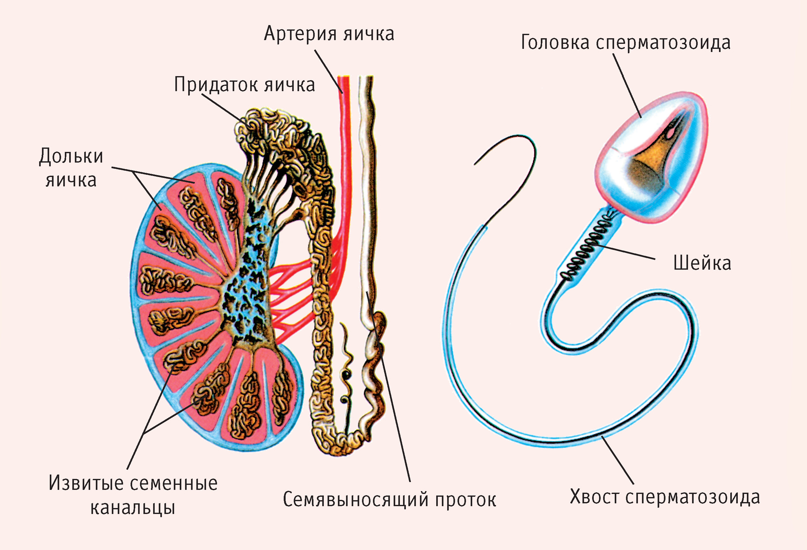 Сперматозоидов с быстрым поступательным движением нет