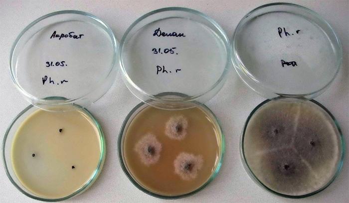 posev-spermi-na-bakterii