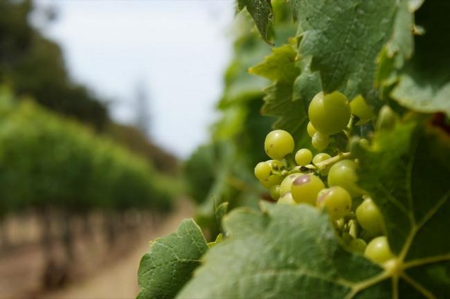 vinogradnaj_vinograd_plantacii_vinograda_17069406383