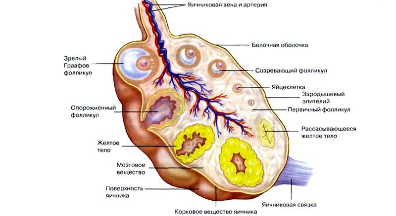 Размеры яичников при беременности на ранних сроках